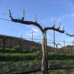 Vineyard Pruners Required
