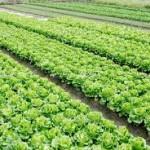 lettuce growing 2